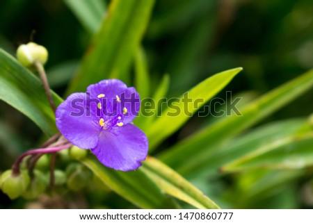 Little violet flower blooming in the garden Stock fotó ©