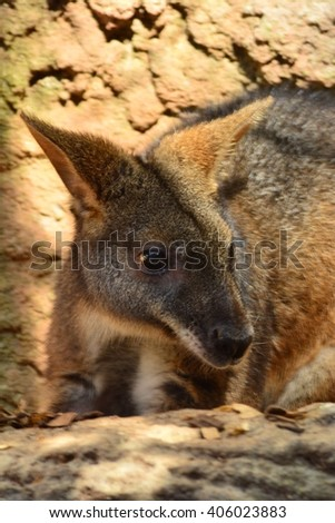 Little wallaby #406023883