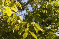 Little walnuts on the walnut tree. Green unripe walnuts hang on a branch. Green leaves and unripe walnut. Fruits of a walnut. Raw walnuts in a green nutshell. Ripe nuts of a Walnut tree.