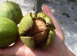 Little walnuts on the walnut tree  in Armenia. Green unripe walnuts hang on a branch. Green leaves and unripe walnut. Fruits of a walnut. Raw walnuts in a green nutshell. Ripe nuts of a Walnut tree.