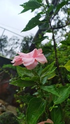 Little Waterdrops On The Beautiful Pink Rose In The Garden