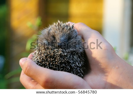 Little West European Hedgehog (Erinaceus europaeus)