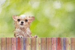 Little wet chihuahua dog left outside the house look behind wet glass window after rain.