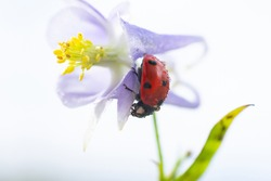 Little wet ladybug with tiny water droplets on back is sitting on fragile purple flower. Concept of calmness and peacefulness