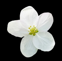 Little white flower flax isolated on black macro