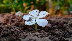 Little White Flower Growing Out of the Ground. Close up of Spring Flower with Water Drops on Soil Background. Selective Focus