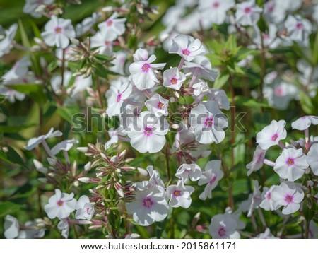 Little white flowers of Phlox maculata Reine de Jour Photo stock ©