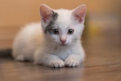 Little white kitten - portrait of a kitten lying on the ground