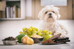Little white maltese dog and food ingredients toxic to him
