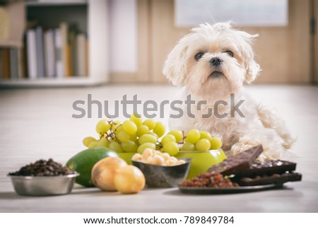 Little white maltese dog and food ingredients toxic to him Foto stock ©