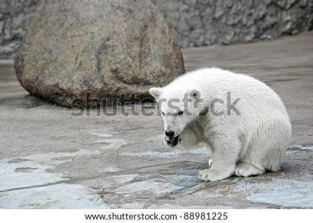 Little white polar bear