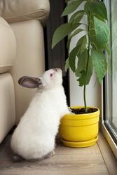 Little white rabbit eats a potted plant