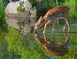 Little White Tailed Deer drinks from clear waters showing reflection.