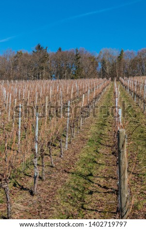 Little wineyard with rows of grapevines and the forest #1402719797