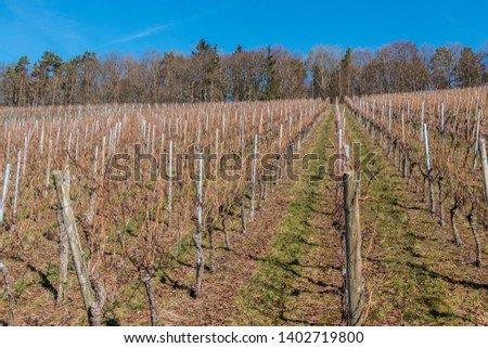 Little wineyard with rows of grapevines and the forest #1402719800