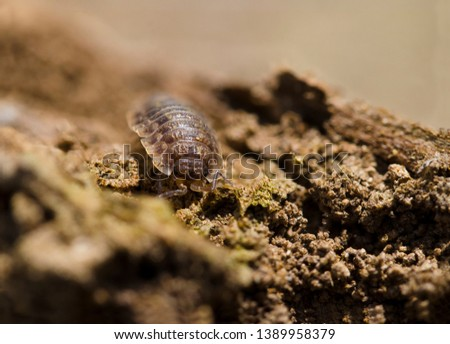 Little Wood louse on wood  #1389958379