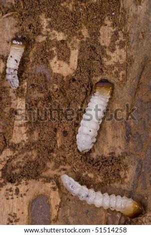little woodworm lies on brown tree bark