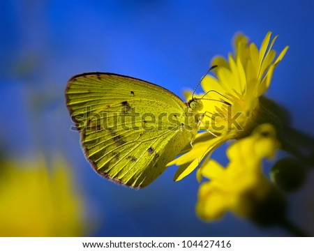 Little Yellow butterfly (eurema lisa) feeding on yellow flowers. Natural bright blue background.