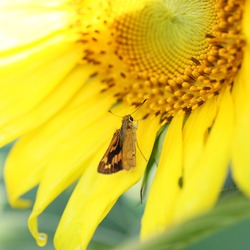 Little Yellow Butterfly inspects a sunflower for nectar