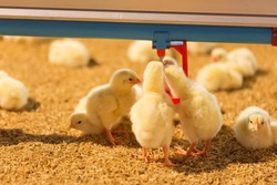 Little yellow chicks in close farm, temperature and light control
