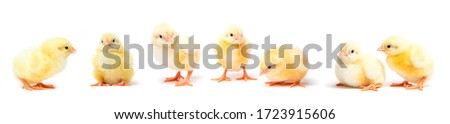 Little yellow chicks isolated on white background. Farm incubator chickens on walk.  Stockfoto ©