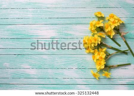 little yellow  daffodils ...