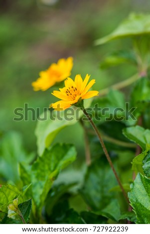 Little yellow flower in nature, Thailand. #727922239