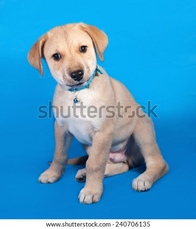 Little yellow puppy in blue collar sitting on blue background