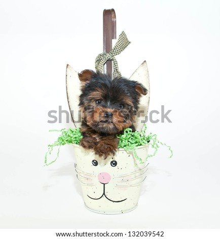 Little Yorkie puppy in a bunny Easter basket on a white background.