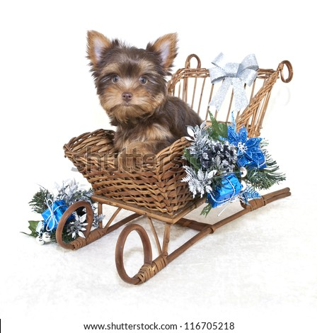 Little Yorkie puppy in a sled with Christmas decor on a white background.