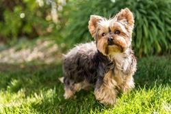 Little Yorkshire Terrier posing an grass. Yorkie Dog