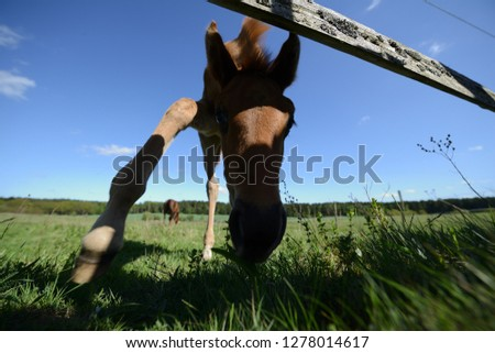 little young foal alone on the pasture, Foals on rickety legs in spring