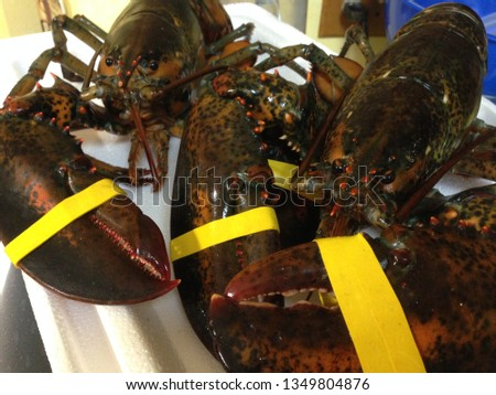 Live and fresh Maine rock lobster banded with yellow rubber bands ready to cook #1349804876