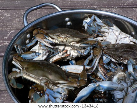 live blue crabs in pot for cooking
