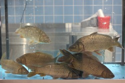 Live carp fish in aquarium in store for sale