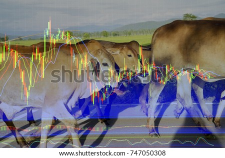 Live cow and technical candle stick price chart with up and down trend moving average indicator. Agricultural commodities future market business , animal livestock farm background.