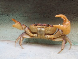 Live crab near a wall in attacking position.