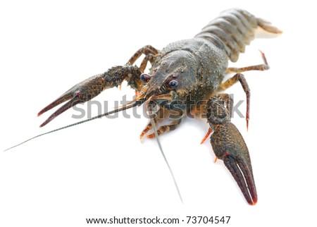 Live crayfish. Crayfish on a white background