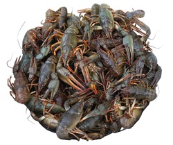 Live crayfish in a white bowl. River crayfish. A full bowl of live crayfish on an isolated background