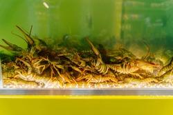 Live crayfish in the aquarium. Live crayfish in a supermarket aquarium. Crayfish for cooking. Crayfish.