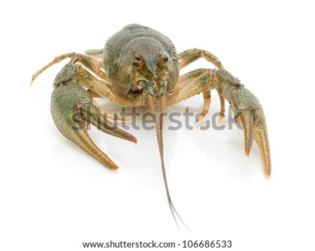 live crayfish on a white background close-up