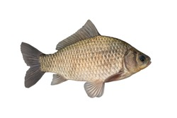 Live crucian carp fish with flowing fins isolated on white background