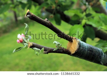 Live cuttings at grafting apple tree in cleft with growing buds, young leaves and flowers. Closeup. Stockfoto ©