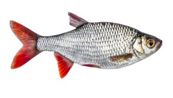 Live fresh fish isolated