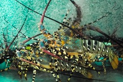 Live fresh tiger lobsters (Panulirus ornatus) on an aquarium sold on a fish wet market in the Philippines.