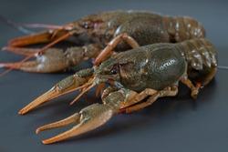 Live freshwater crayfishes, close up.