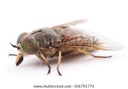Live horsefly isolated on white background with shadow, macro shot