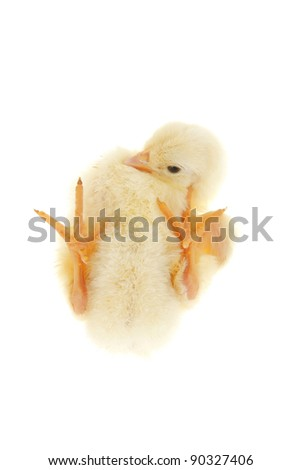 Yellow Little Chicken Isolated The White Background Stock Photo