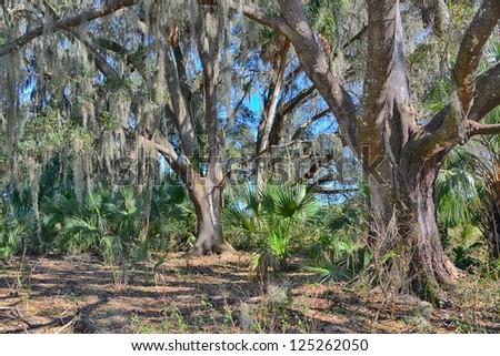 Live Oak forest in central Florida