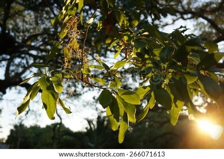 Live oak leaves illuminated at sunset
